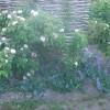Katteurt og roser