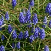 Blå perler