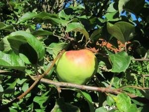 Æble Filippa