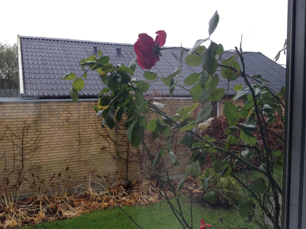 Rosen slår mod ruden