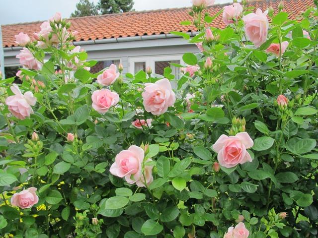 Roser fra mormors have