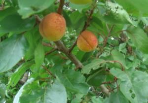 Abrikoser i haven