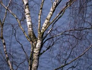 Planter under birketræ
