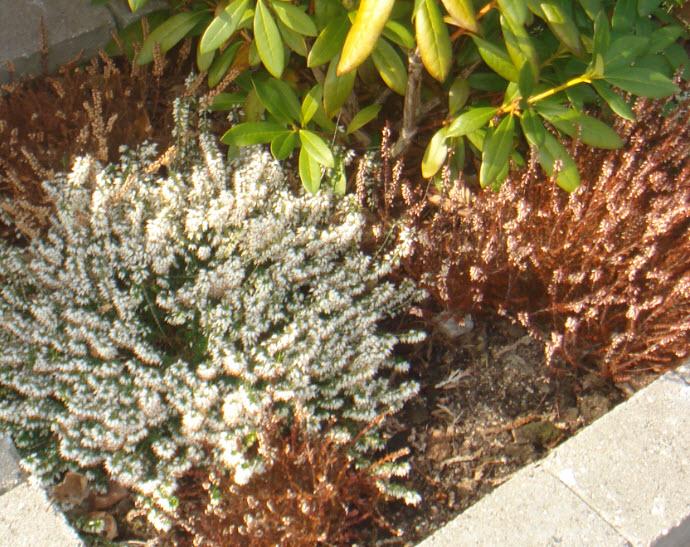 Hvide blomster i haven   idas have   inspiration til din have