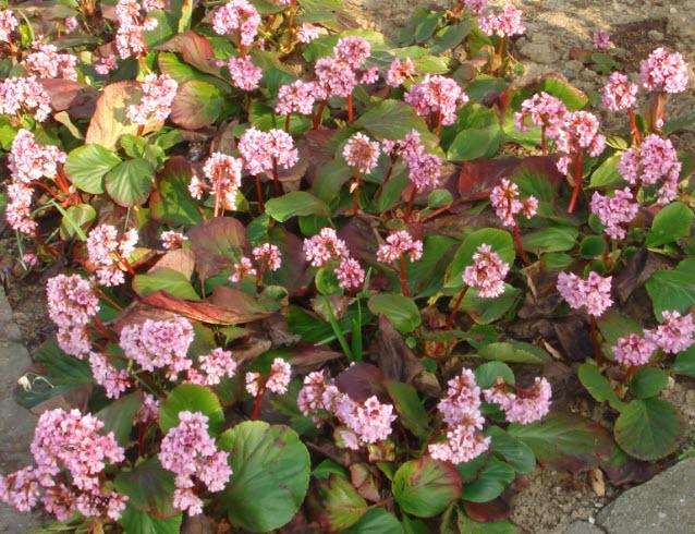 Pink blomster i haven   idas have   inspiration til din have