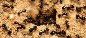 En sød myre er en død myre