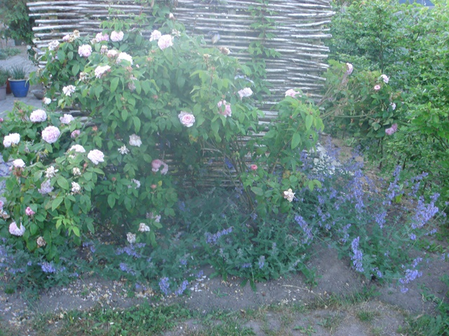 Katteurt i rosenbedet - lige efter plantning