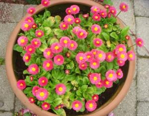 Pink potte