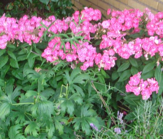 Pink blomster i haven - Idas Have - inspiration til din have