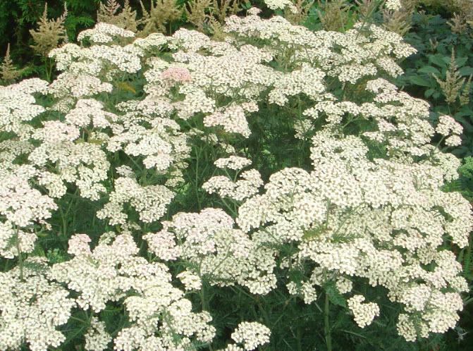 Hvide blomster i haven - Idas Have - inspiration til din have