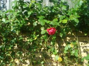 Den sidste rose