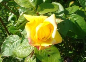 Tid til nye roser