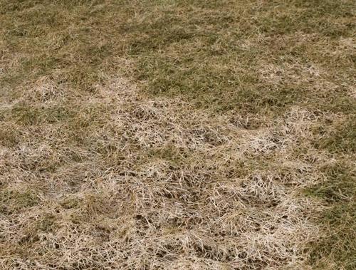 Sneskimmel i græsplænen